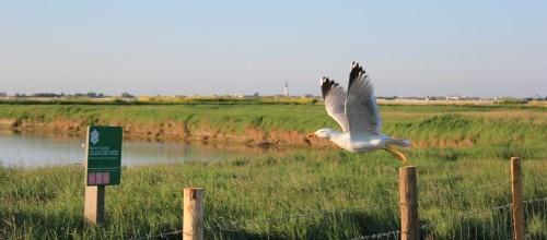 goeland sur un piquet de la réserve